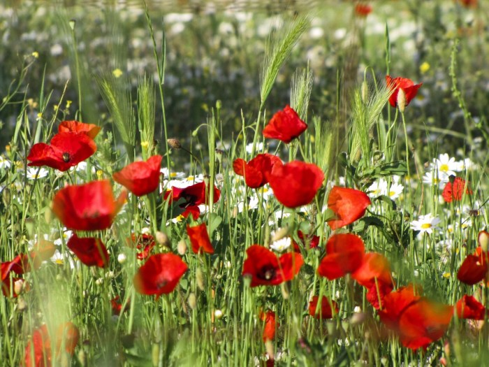 Poppies in the Maremma, Tuscany