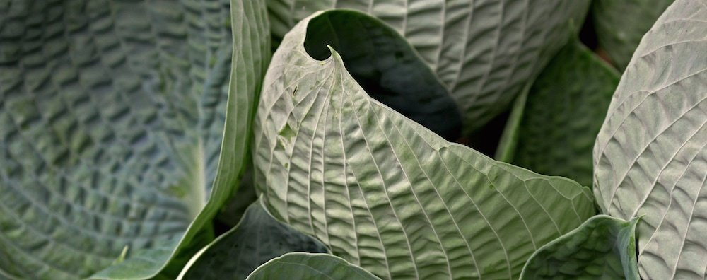 Close-up photograph of highly textured green leaves.
