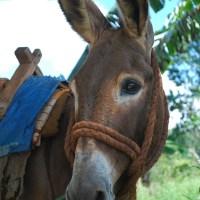 Jamaican Pack Mule Takes a Break