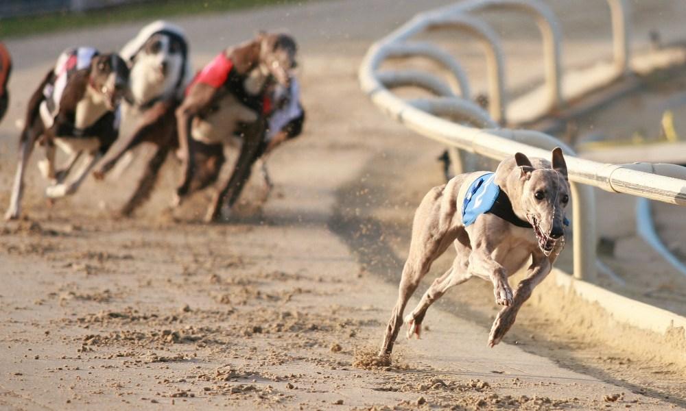 greyhound racing tonight