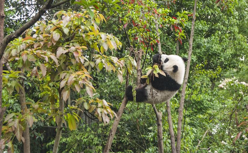 Panda in tree eating leaves