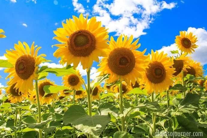 Hamilton Sunflower Farm