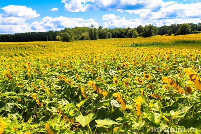 Hamilton Sunflower Farm Ontario 25