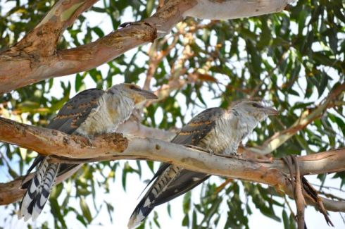 channel billed cuckoo