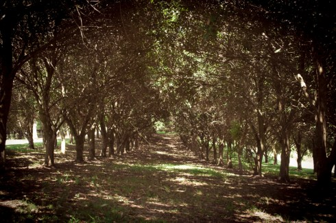 macadamia trees, Summer Hills Retreat