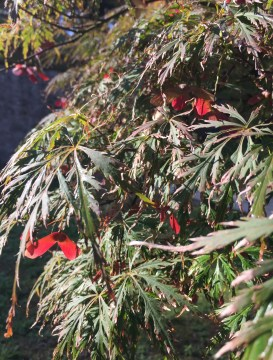 Japanese maple in bloom