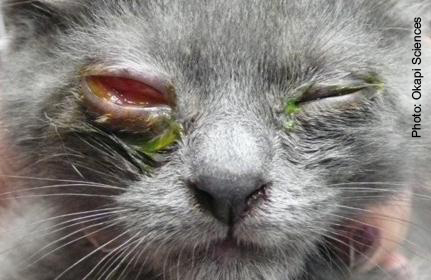 Herpes In Cats Eyes Pictures 2