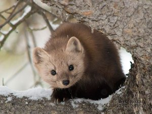 PineMarten3