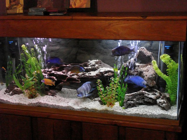 Freshwater aquarium fish best freshwater aquarium fish for Best tank cleaning fish