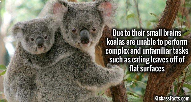 1052 Koalas