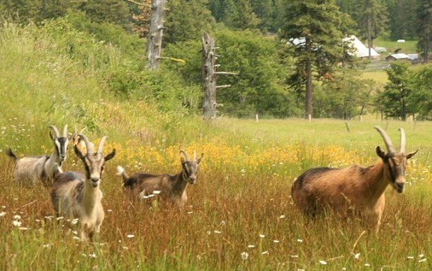 goats-grazing-in-meadow