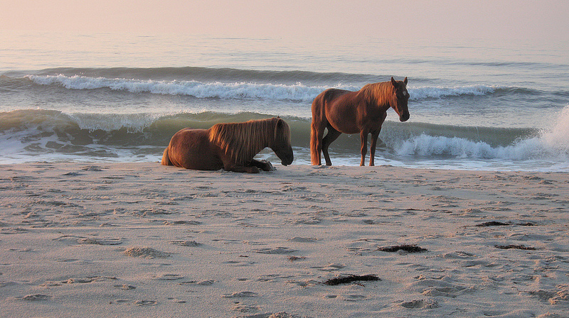 Wild horses on the beach at Assateague