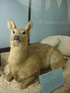 Vampire Deer at Tring Natural History Museum
