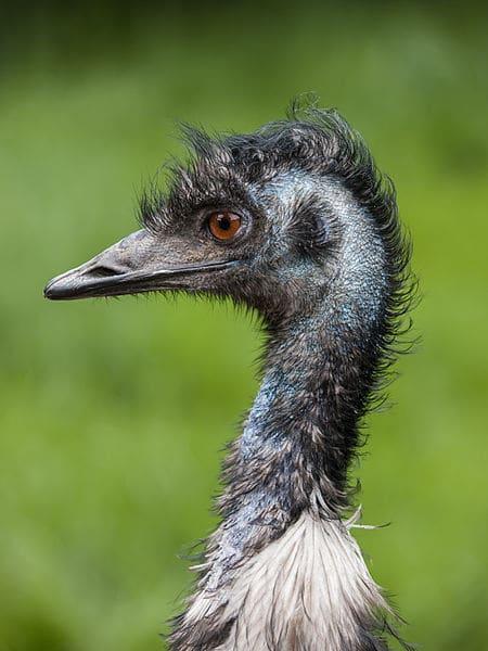 Flightless Birds Emu Headshot- Kid World Citizen