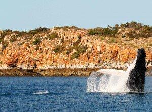 A humpback whale breaches in Camden Sound
