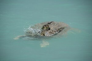 Flatback Turtle with transmitter