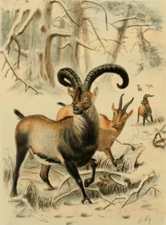Ibex-SpanishTur-Lydecker1898.png?zoom=2&