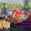 泳ぎが可愛い丸い金魚 YouTubeで癒されて下さい
