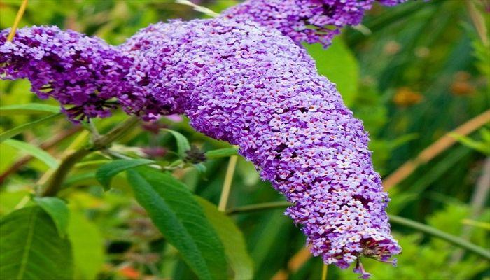ジューンブライド 花 ブッドレア