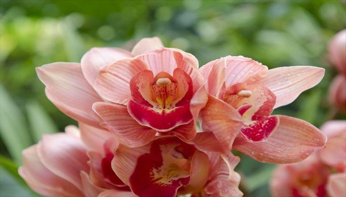 ジューンブライド 花 シンビジウム