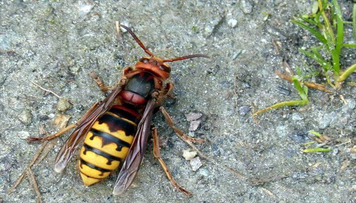 スズメバチの習性