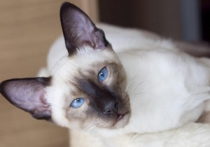 kittyton post -| siamese cats