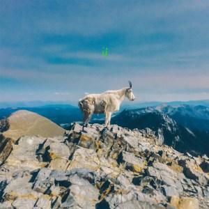 Liima-goat