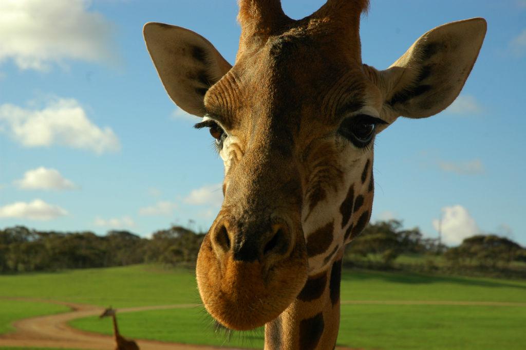 Lekker stukje giraffevlees
