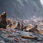Steller sea lions in the Alaska Maritime National Wildlife Refuge.  U.S. Fish and Wildlife Service Headquarters/Flickr