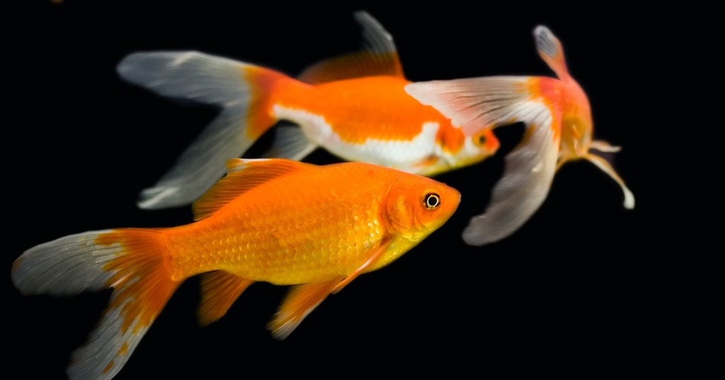 The difference between koi and goldfish knowledgenuts for What fish are biting this time of year