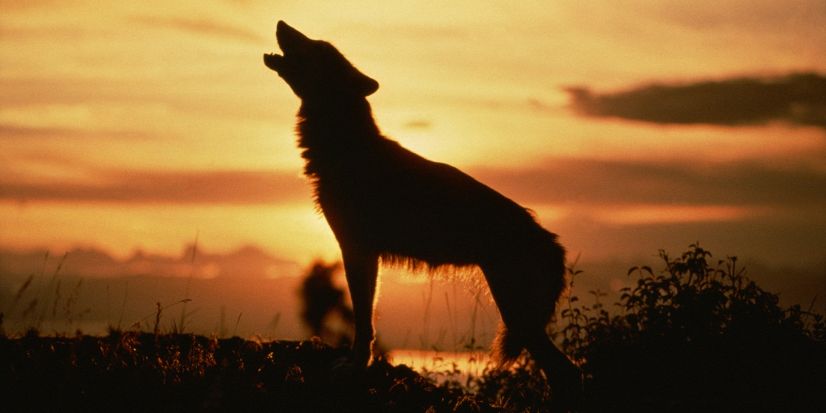 The 'Alpha Wolf' Is An Outdated Myth