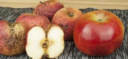 Two different apples, fresh and withered