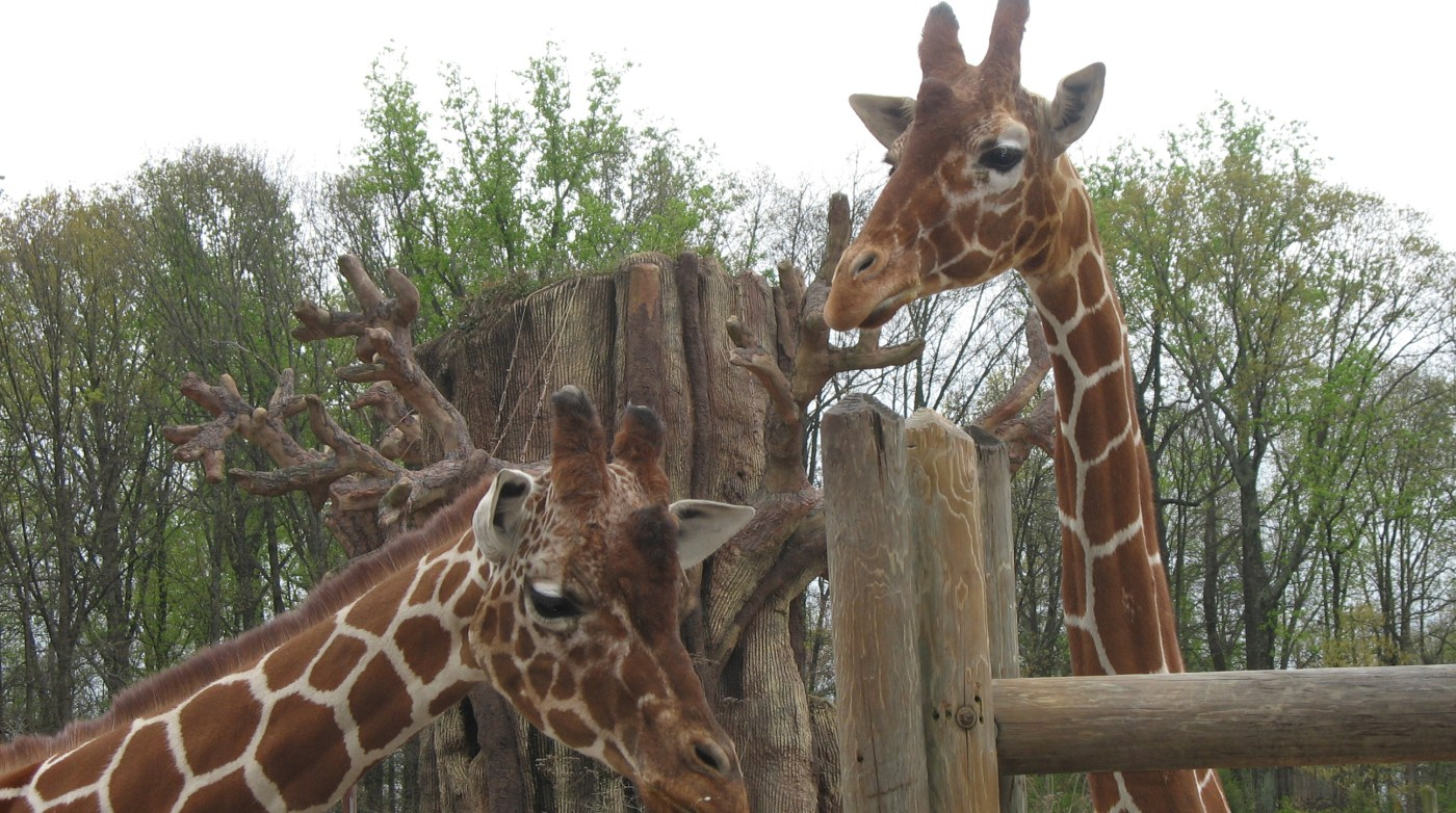 Giraffes at the Knoxville Zoo.