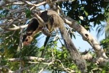 Een jungle eekhoorn