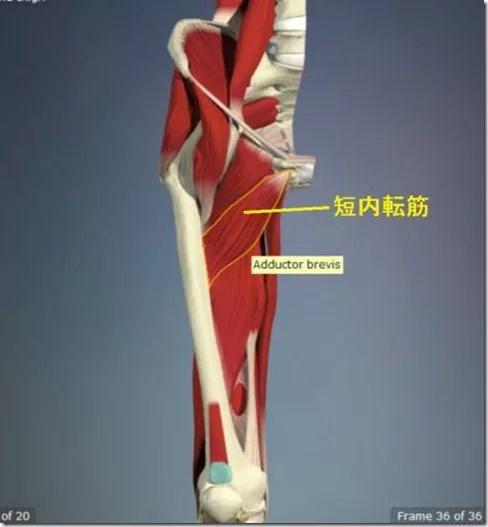 股関節痛み原因治療 短内転筋4.5