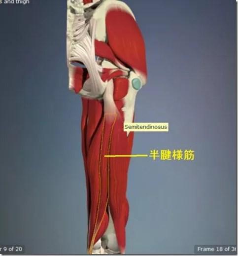 股関節痛み原因治療 半腱様筋4.5