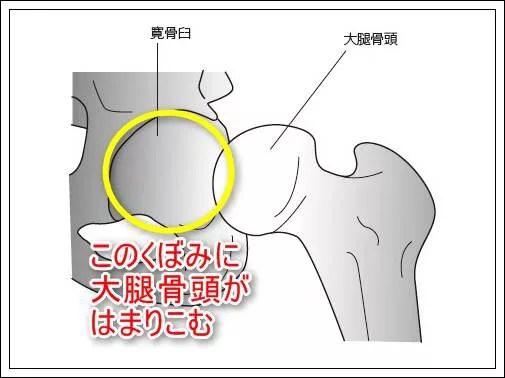 股関節唇の解剖と機能、その役割とは3