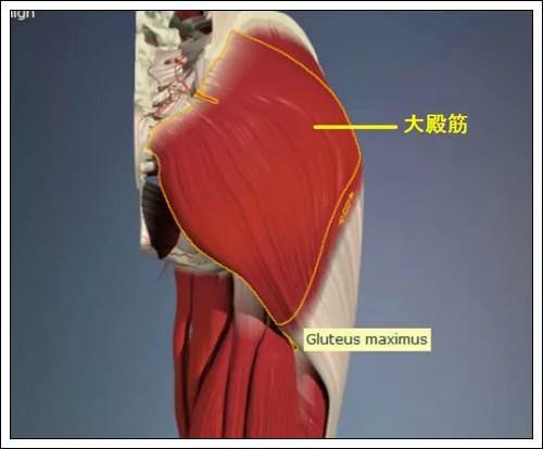 股関節解剖大殿筋