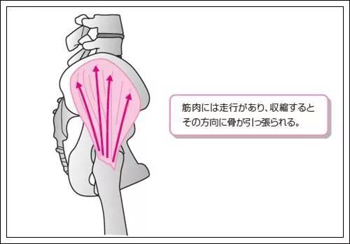 筋肉の走行