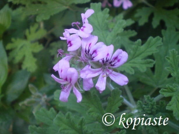 Fragrant Geraniums2