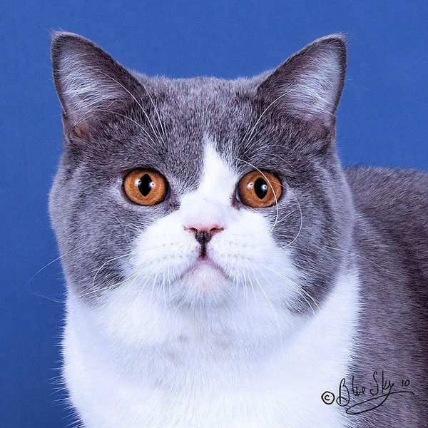 Chat Chat Centerblog Photo de chat British Shorthair bleu et blanc chat british shorthair 600x600