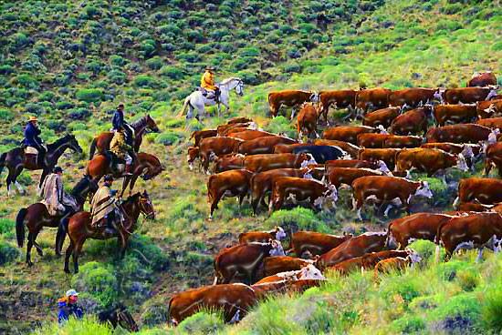 cattle_herding.jpg