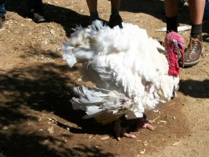 A happy turkey at Farm Sanctuary's Northern California Shelter