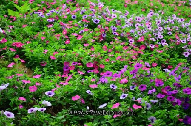 lavender garden @ Cameron highlands 11
