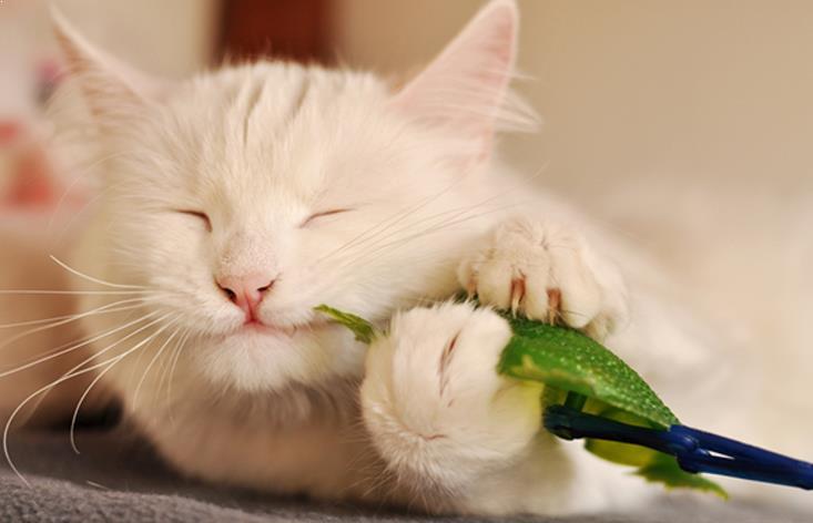 kucing anggora asli aktif dan suka bermain