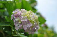 船行公園 紫陽花