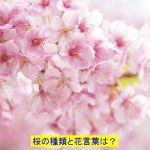 桜の種類や香りの違いはあるの?花言葉は?