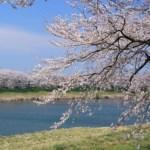 一目千本桜桜まつり場所期間夜桜やアクセス駐車場混雑回避屋台食事は?