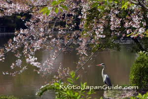 Sakura and heron by pond