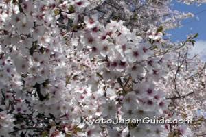 Sakura blossoms in full bloom 001